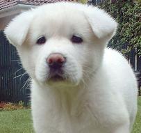 raza Akita Inu, perro Akita Inu, Akita Inu, cuidados Akita Inu, mascota Akita Inu