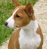 Basenji, Perro del congo