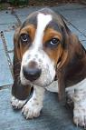 raza Basset Hound, perro Basset Hound, Basset Hound, cuidados Basset Hound, mascota Basset Hound
