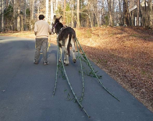 donkey at work hauling bamboo