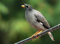 Bird from Nepal