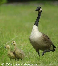 Canada Goose Family