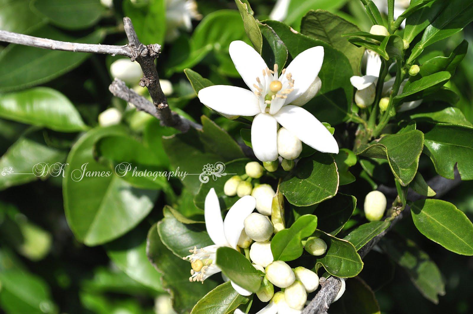 Focused On Life Photo BlogOrange Blossom Tree