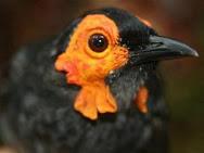 Burung Penghisap Madu jenis baru