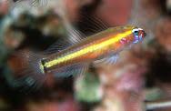 Eviota Raja, Ikan Laut dari Raja Ampat