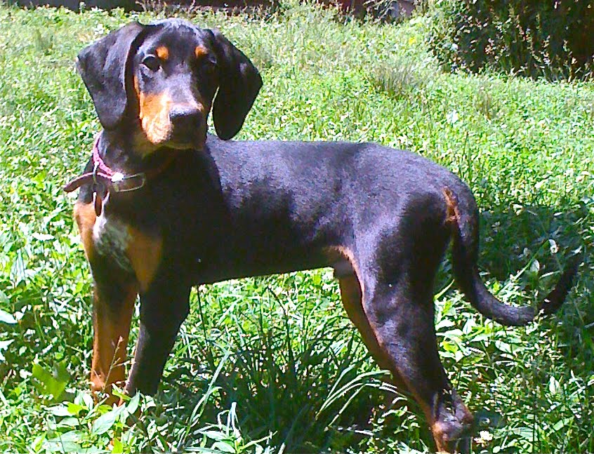 Doberman Bloodhound Mix
