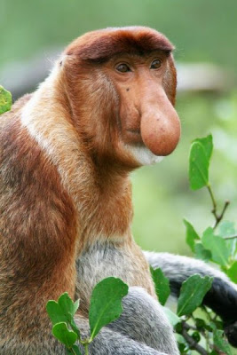 monkey with extremely funny nose