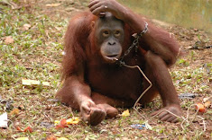 The torture of orangutans is seemingly never ending.