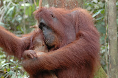 Mother and baby orangutan.