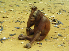 Bored and hungry - for as long as this orangutans lives