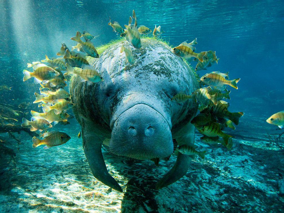 http://2.bp.blogspot.com/_bstXBEDnG9w/TRt_dPnYyfI/AAAAAAAAEW0/puAsFzGMD34/s1600/manatee-and-fish_10924_990x742.jpg