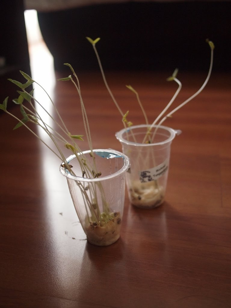 Beans Plant Planting Bean Sprouts