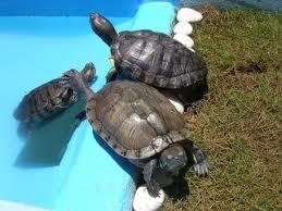las tortugas mas lindas