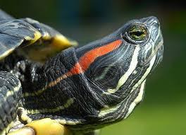 tortugas orejas rojas
