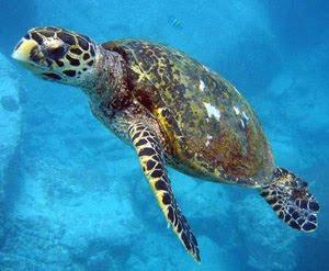 tortuga en peligro de extinción