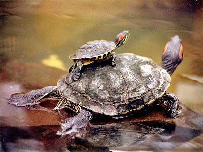 tortuga con su cria uan pequeña tortuga de orejas rojas