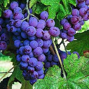 budidaya buah anggur