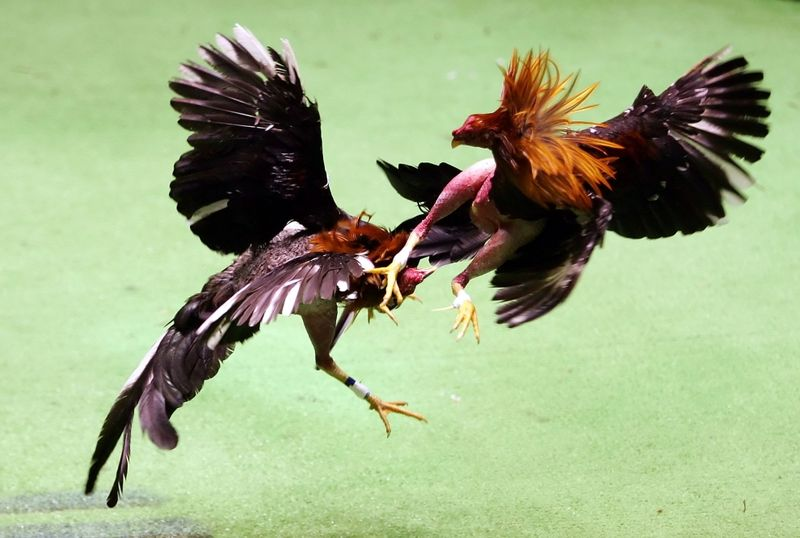 20 April 2010, tengahhari :: Laga Ayam :: [31 Gamba]