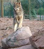 Wolf im Wolfsgehe Wachenheim