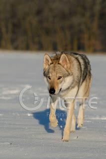 Eisa von der Wolfsranch