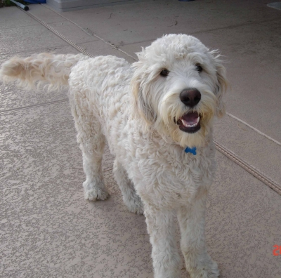 Goldendoodle Haircut Photos http://transformationalmotivation.com/coaching/12/goldendoodle-haircut-pictures