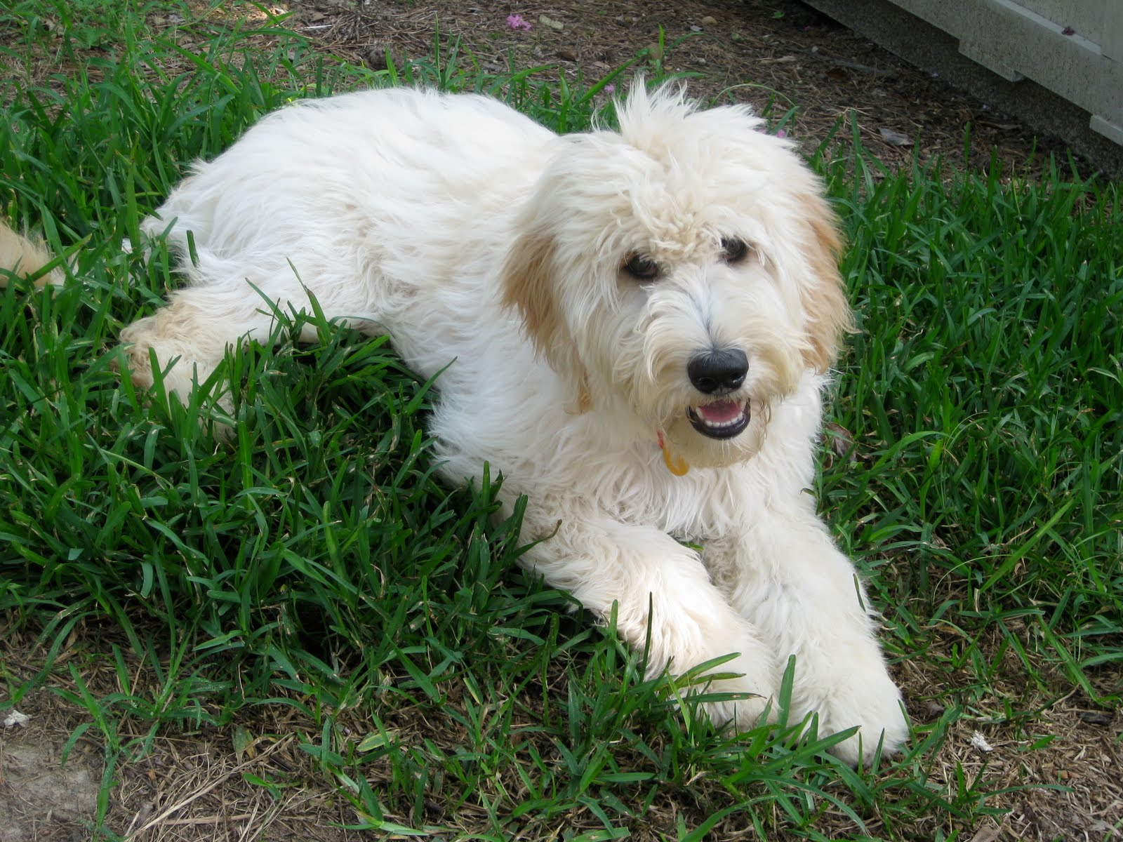 A Walk Through Myth Busters Goldendoodle Edition
