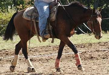 Bay Mustang Gelding