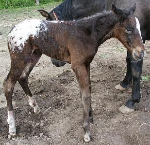 Blue eyed Appaloosa foal