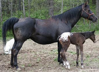 Large Blanketed Filly Born at Pintura Springs
