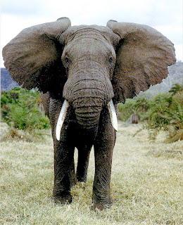 AfricanElephant111 10 Hewan Paling Berbahaya di Dunia