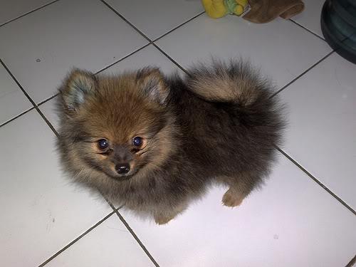 Berat Spitz Pomeranian selama berbulan-bulan - foto anak anjing