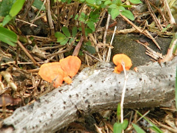 ORANGE MUSHROOMS