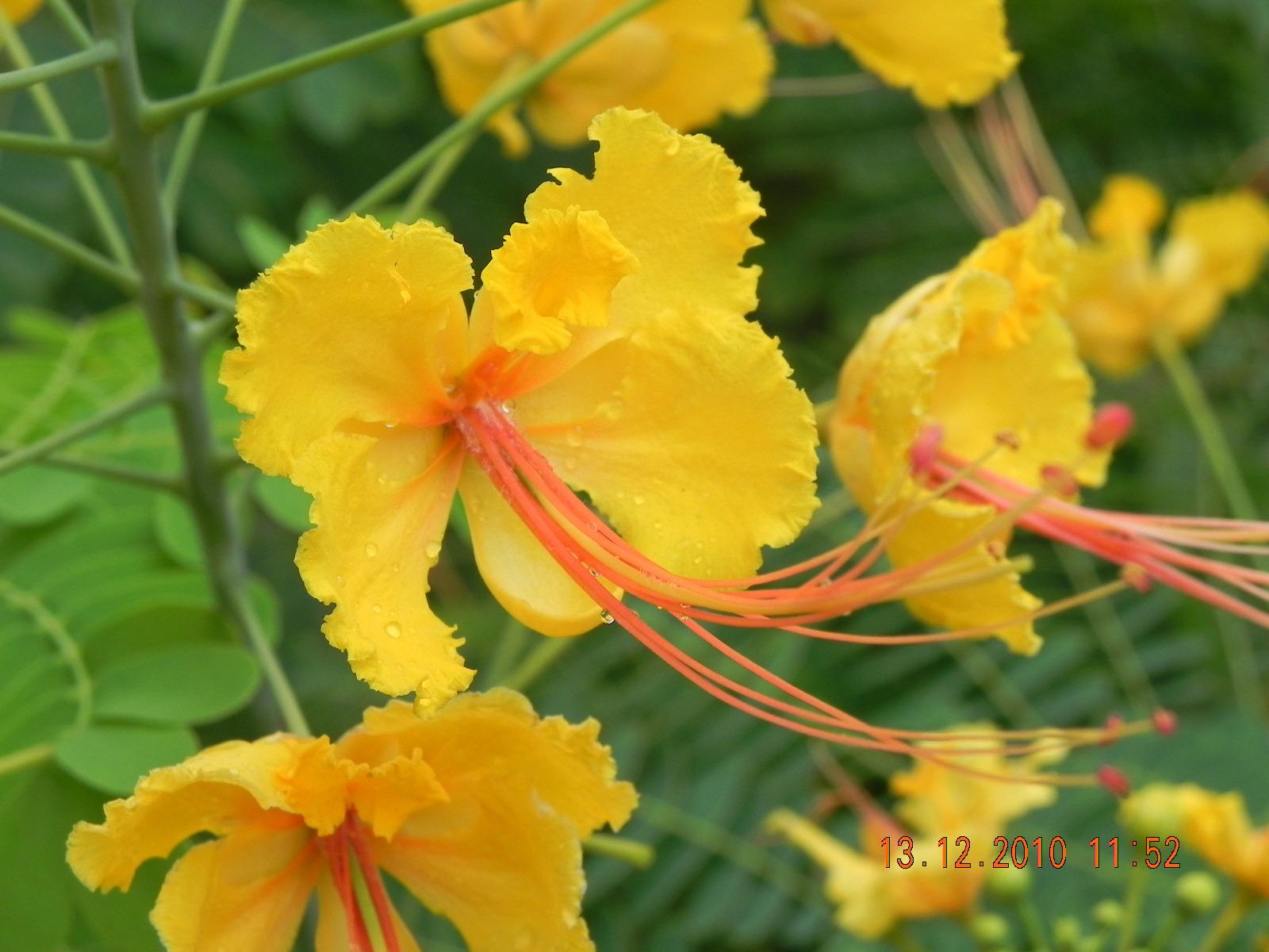 my g rdening frenzy  caesalpinia pulcherrima