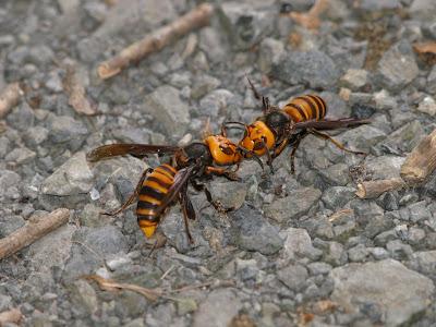 スズメバチの画像 p1_11