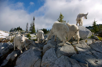 White Mountain Goats on big granite rocks licking at ground.