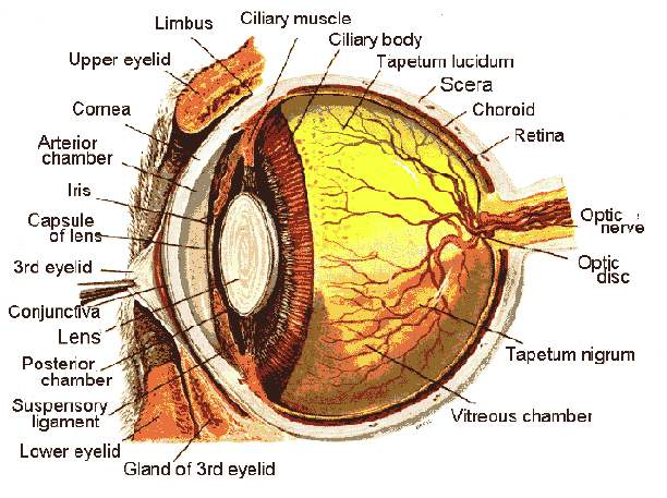 Cow Eye Diagram Tapetum Including Find Wiring Diagram
