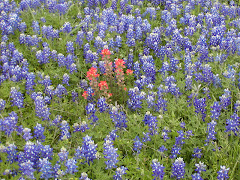 Texas bluebonnets!