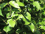Black Pepper Vine and Fruit