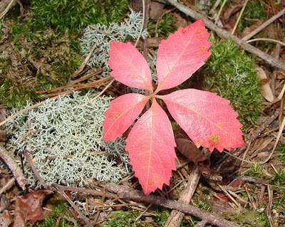 five leafed ivy
