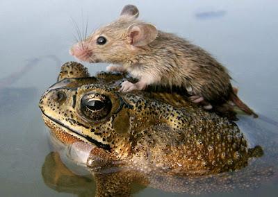 http://2.bp.blogspot.com/_cFyLOWdXMQk/Sps4LFS8U0I/AAAAAAAAAkI/9whEnqo7cVI/s400/060705-mouse-frog_big.jpg