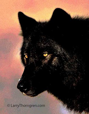 black wolf with yellow eyes - photo #26