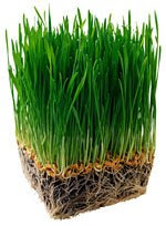 wheatgrass