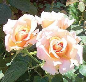 Mau Tau Arti Warna Bunga Mawar ??? [ www.BlogApaAja.com ]