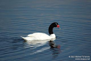 Cisne de cuello negro Cygnus melancoryphus