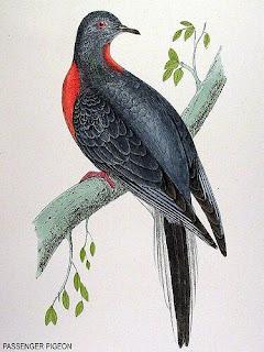 paloma migradora Ectopistes migratorius aves extintas