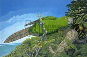 papagayo de Rodrigues Necropsittacus rodericanus aves extintas de las islas