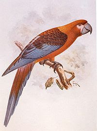 Cuban macaw
