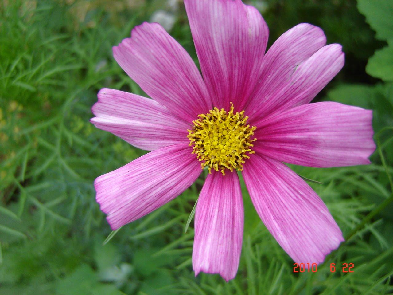 Dr Kim s Holistic Healing Happy Cosmos flower from my backyard garden