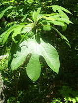 The Sassafras Tree
