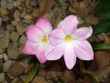 Zephyranthes sp. 'Labuffarosa'
